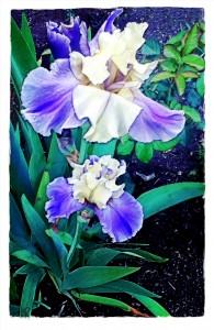 rendu_blue and white iris