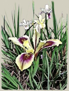 rendu_pacific coast iris